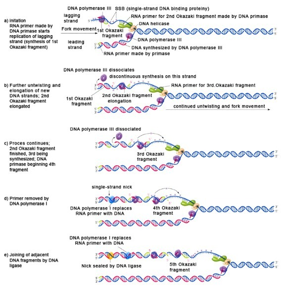 DNA Replication In Prokaryotes