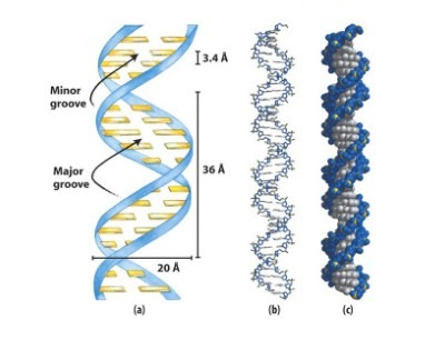 Major and Minor groove of DNA