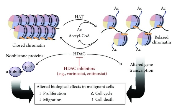 Histone acetylation and deacetylation