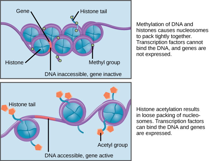 acetylation and deacetylation